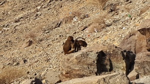 Monyet Gunung