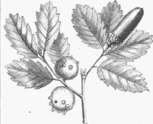 Quercus_infectoria aka manjakani wikipedia